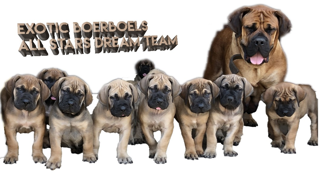 Exotic Boerboel Breeders - South African Boerboel Puppies